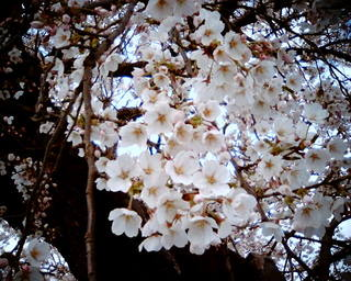 VQ1015で桜 その1